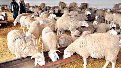 الشعير المدعم لمربي الماشية