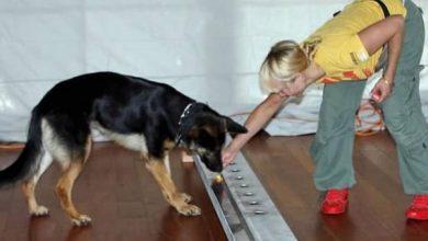تدريب كلاب لاكتشاف الإصابات بفيروس كورونا المستجد