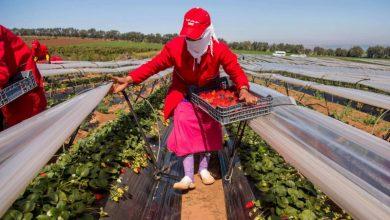 تعليب الفواكه الحمراء بإقليم القنيطرة