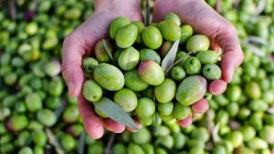 صورة قطاع الزيتون، إنتاج مزدهر ذو قيمة اقتصادية عالية بجهة بني ملال خنيفرة